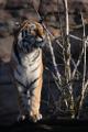 tygr ussurijský VI