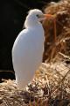 volavka stříbřitá