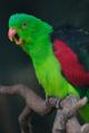 papoušek červenokřídlý II