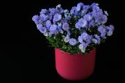 modrý květ I