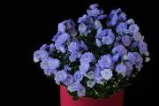 modrý květ II