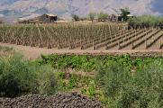 Etna - nové vinice na severním svahu