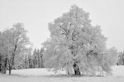 Zhůří - schneebedeckten Baum I