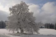 Zhůří - schneebedeckten Baum II