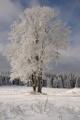 Zhůří - schneebedeckten Baum III