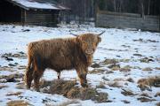 Horská Kvilda - skotský náhorní skot II