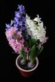 hyacinty I