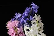 hyacinty III