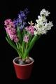 hyacinty IV