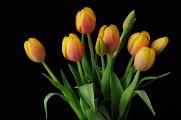 oranžové tulipány V