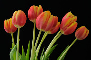 oranžové tulipány IX