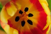 oranžový tulipán