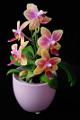 orchidej III