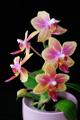 orchidej IV