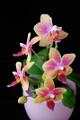 orchidej V