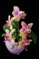 orchidej VI