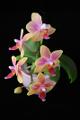 orchidej VII