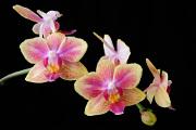 orchidej VIII