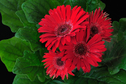 červené gerbery I