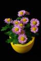 chrysantéma I