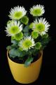 chryzantémy I