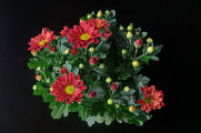 chryzantémy V