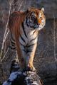 tygr ussurijský I