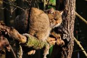 kočka divoká I