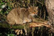 kočka divoká II
