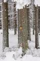 zimní les IV