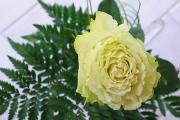 bílá růže I
