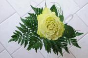 bílá růže II