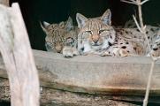 kočky divoké