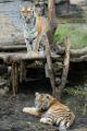 tygr ussurijský III