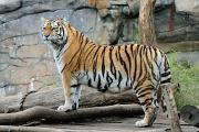tygr ussurijský IV