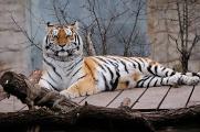 tygr ussurijský V