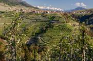 rozkvetlé jabloňové sady  ve Val di Non
