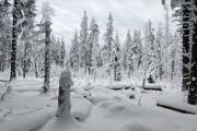 zimní les I