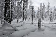 zimní les II
