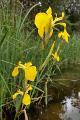 Staňkovský pond - iris