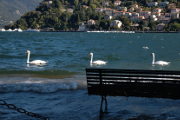 labutě na jezeře v městu Como