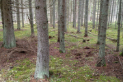 smrkový les I