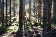 smrkový les II