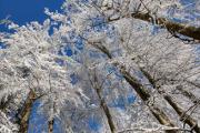 zimní buky