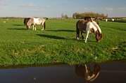 koně na pastvě I