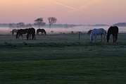 koně na pastvě II