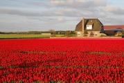 tulipánové pole