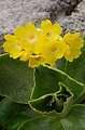 prvosenka (Primula auricula)