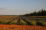 levandulové pole,Francie