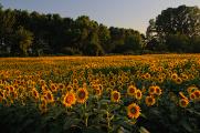 slunečnice u Mantovy,Itálie